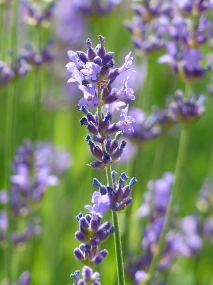 lavender-167794_1280