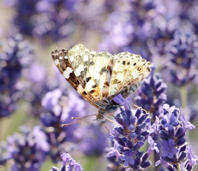 lavender-2426258_1280