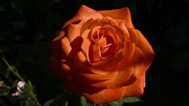 rose-78650_1280