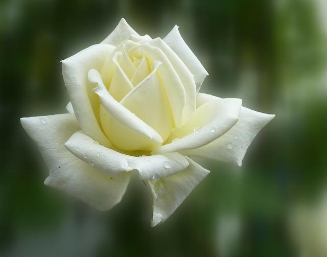 rose-140446_1280